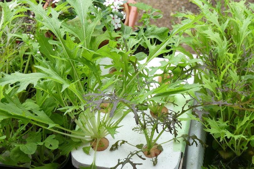 屋外の水耕栽培