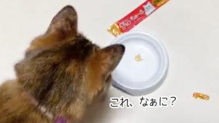 ちゅ~るを食べない猫