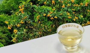 自家製びわ茶の簡単な作り方と保存方法。5月~6月にビワの実を採るなら葉っぱも一緒に利用しよう!