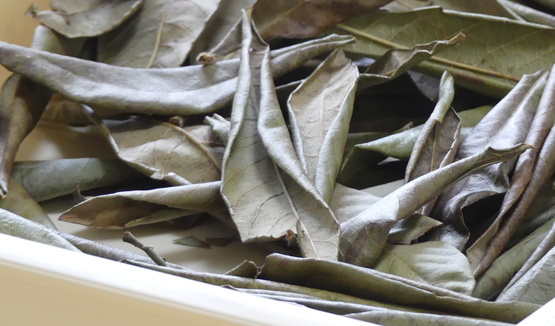 乾燥したびわの葉