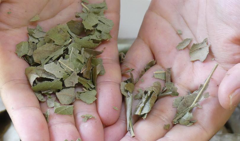 びわの葉を手で揉む