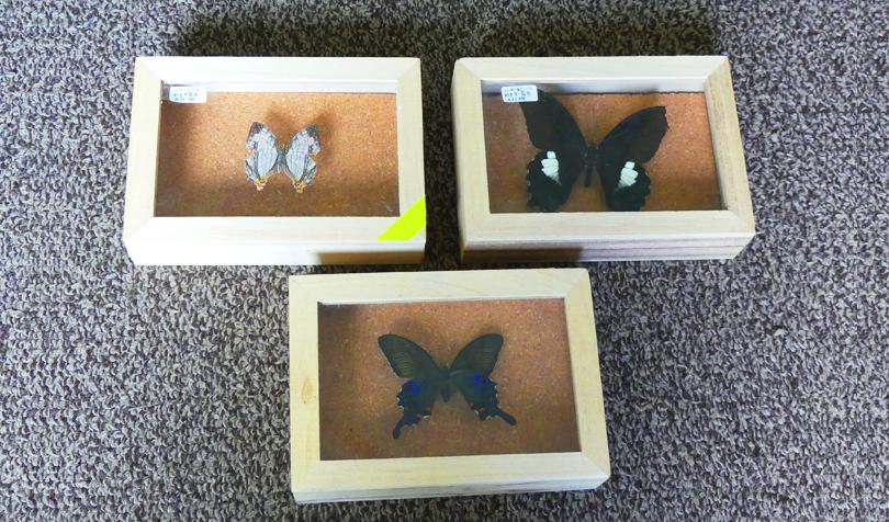 蝶々の標本