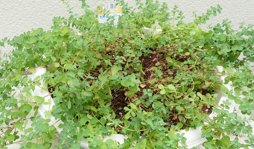 プランターで栽培しているセントジョーンズワート
